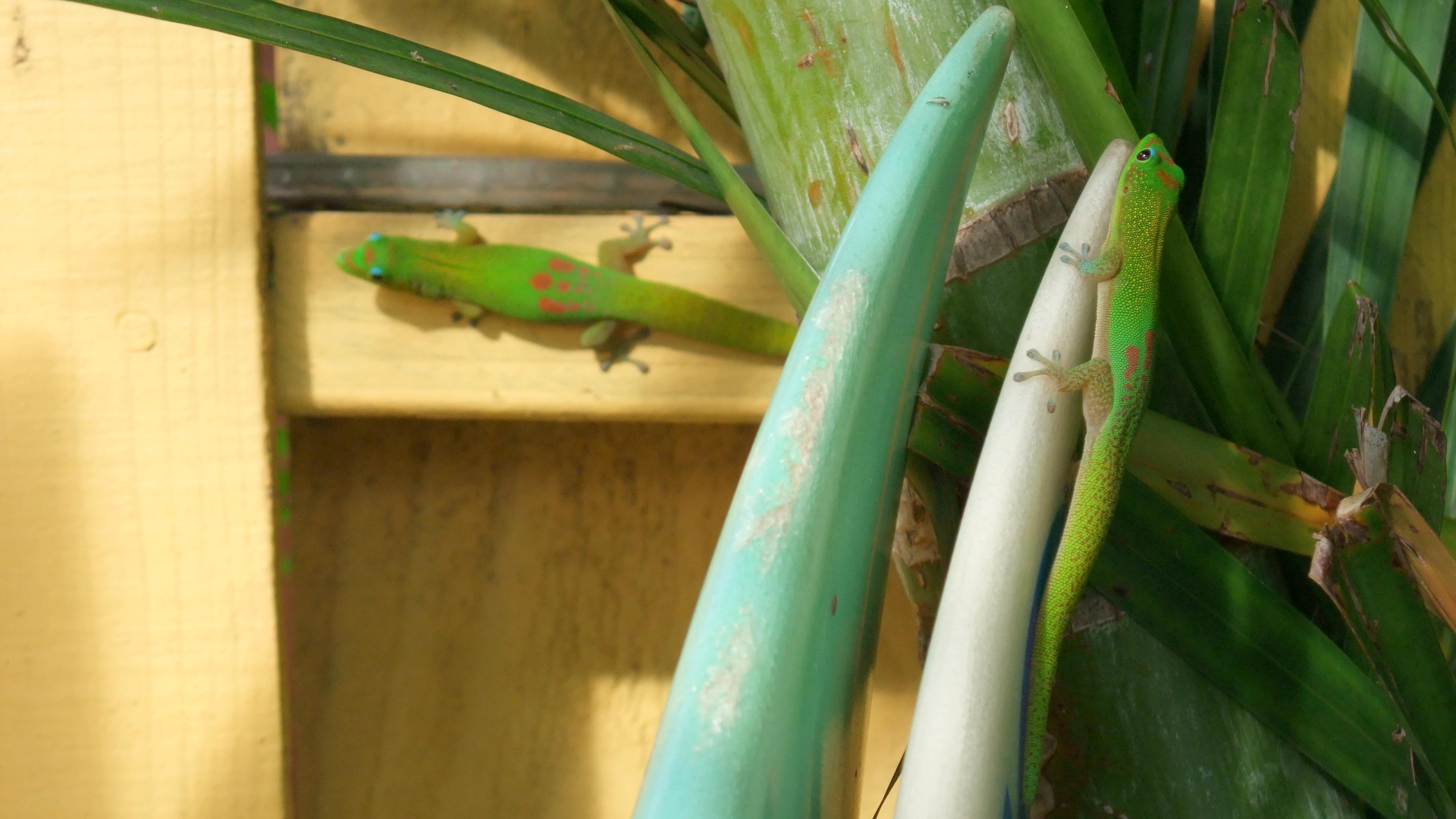 Gecko sur le nose de la planche