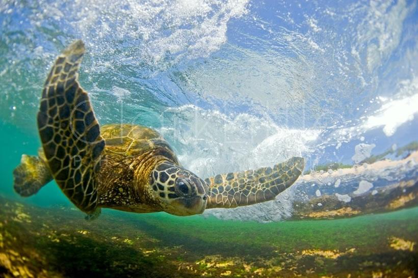 Flying honu © Clark Little Gallery